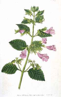 Mint-Savory-Plant-illustration