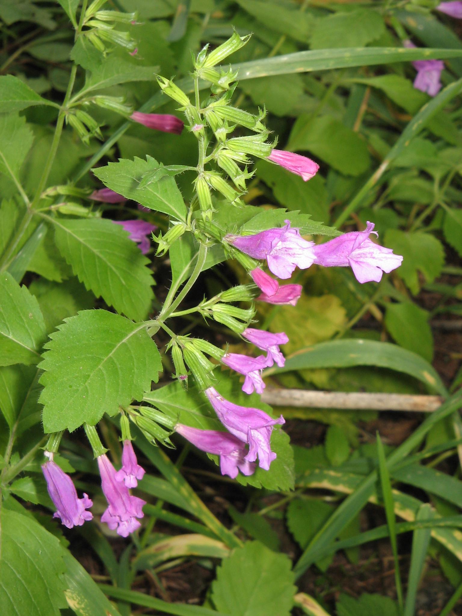 Mint-Savory-flower