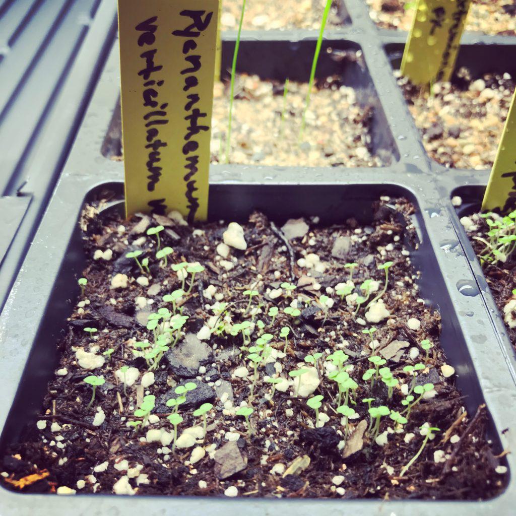 Mint-Savory-seedlings
