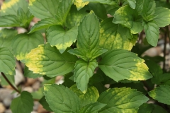 Mint-Savory-leaves