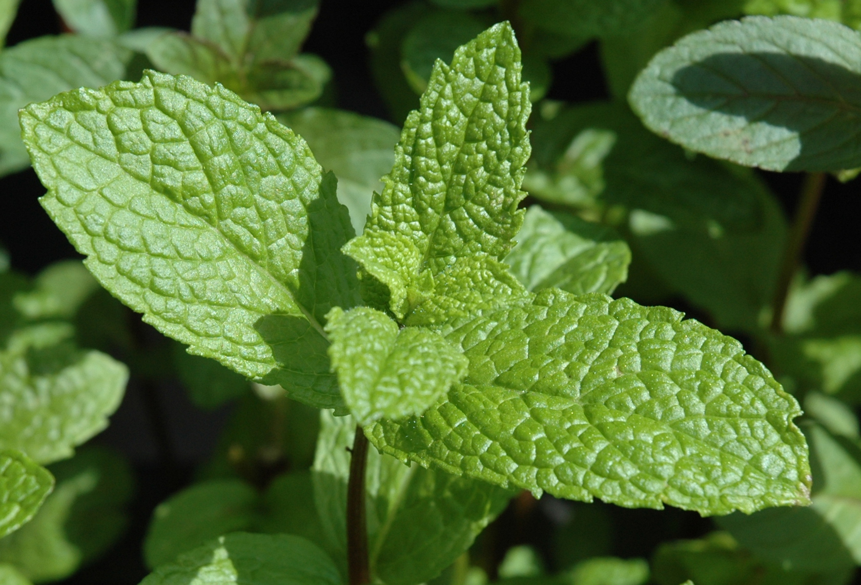 Leaves-of-Mint
