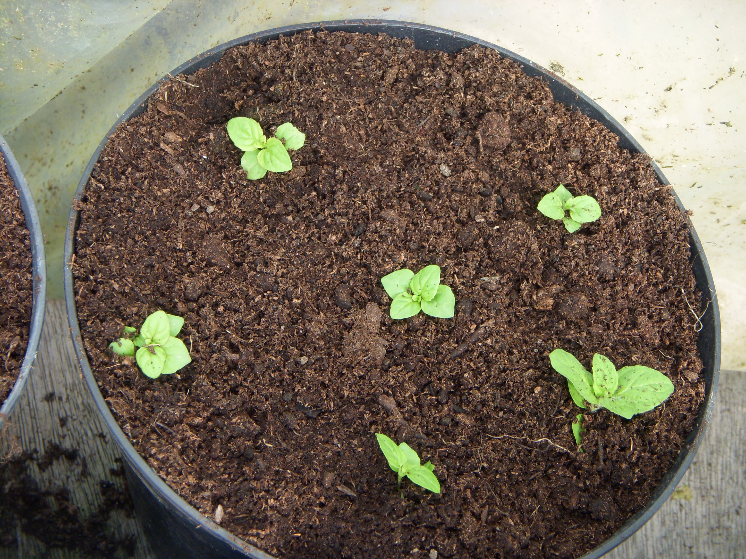 Mint seedlings