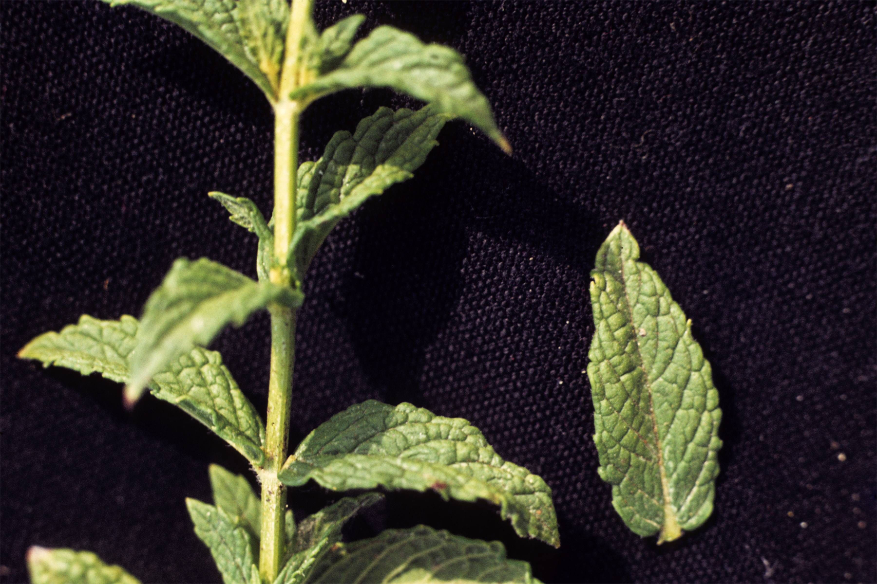 Mint-stem