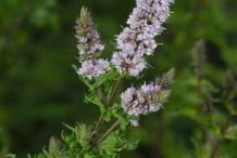 Mint-flower