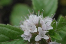 Close-up-flower-of-Mint