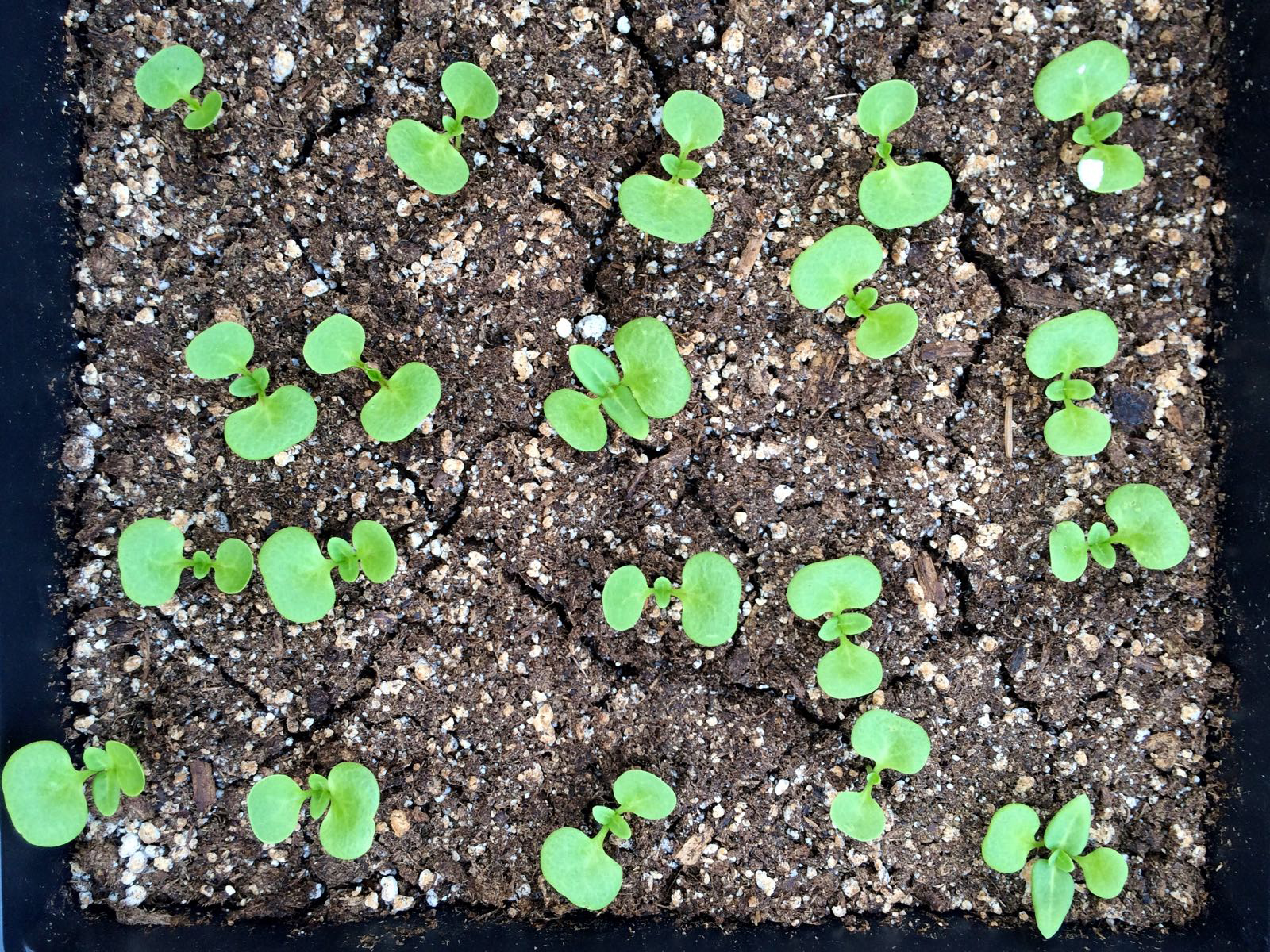 Mirabilis-expansa-seedlings