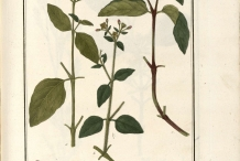 Plant-illustration-of-Mirabilis-expansa