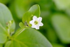 Mirabilis-expansa-flower