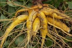 Mirabilis-expansa-roots