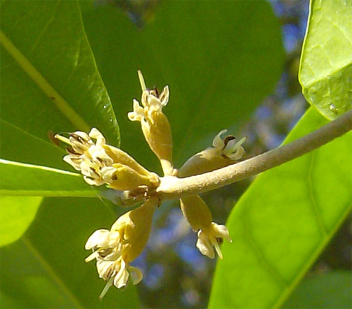 Flower-of-Miracle-fruit