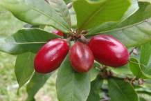 Ripe-Miracle-fruit-on-the-plant