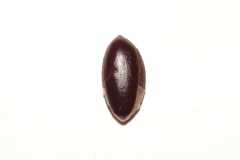 Miracle-fruit-seed