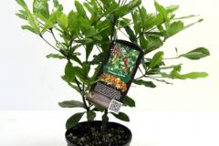 Whole-Miracle-fruit-plant