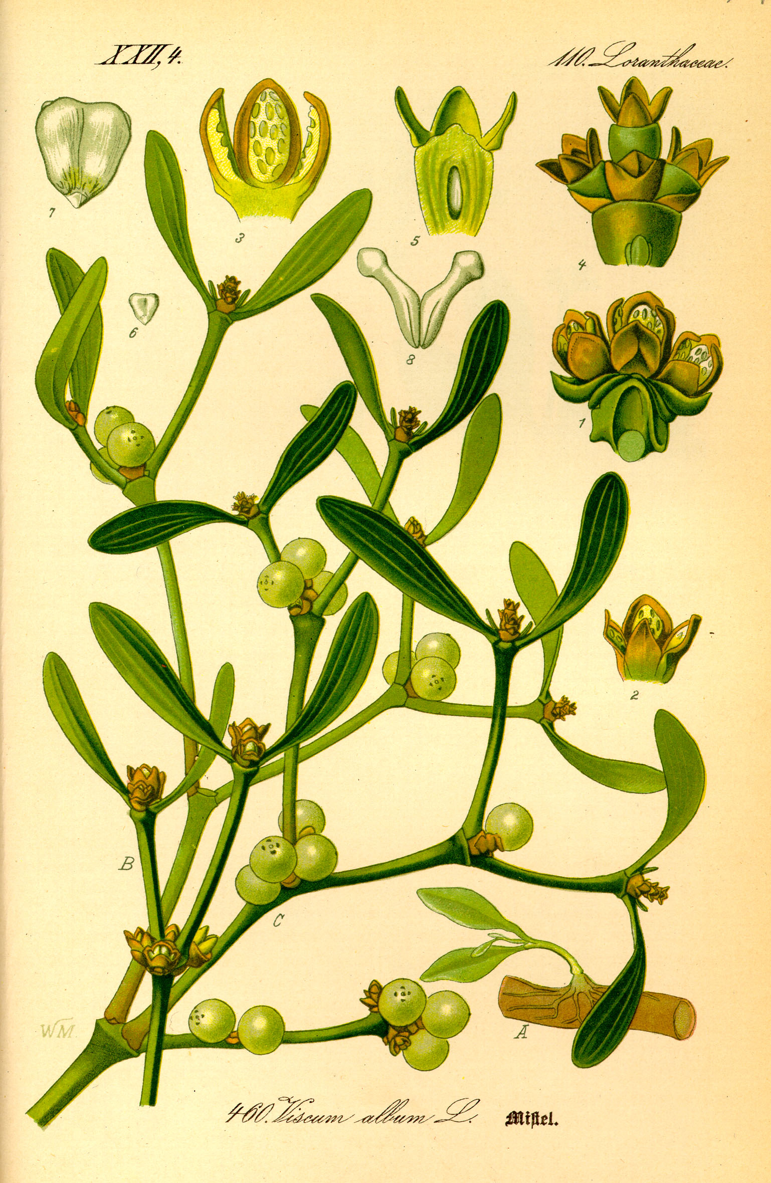 Mistletoe-illustration