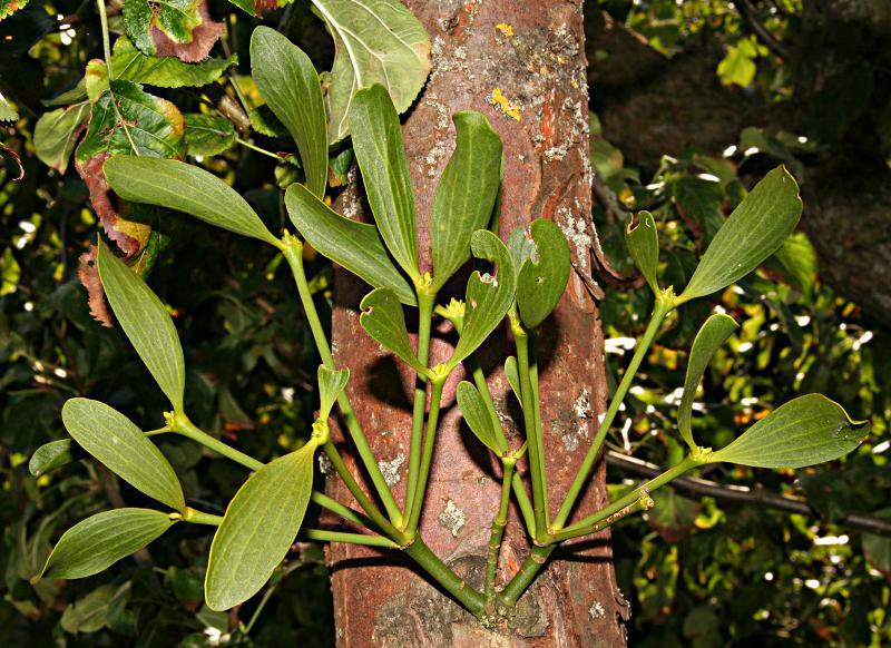Mistletoe-leaves
