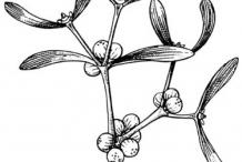 Mistletoe-drawing