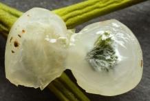 Mistletoe-fruit-pulp