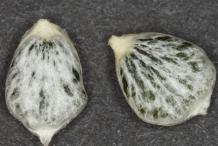 Mistletoe-seeds