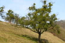 Mistletoe-tree