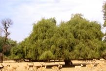 Miswak-tree