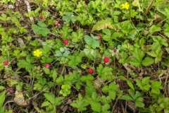 Mock-strawberry-plant-growing-wild