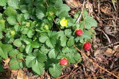 Mock-strawberry-plant