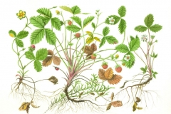Plant-Illustration-of-Mock-strawberry