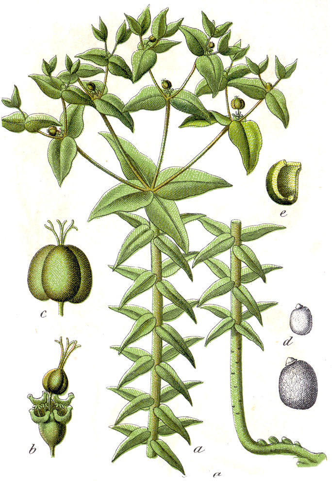 Plant-Illustration-of-Mole-plant