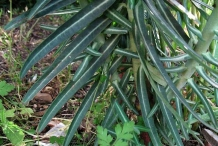 Lower-leaves-of-Mole-plant-