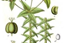Plant-Illustration-of-Mole-plant