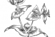 Sketch-of-Mole-plant