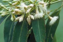 Flower-of-Monkey-Fruit