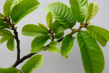 Leaves-of-Monkey-Fruit