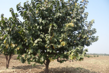 Monkey-Fruit-Plant