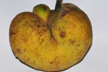 Monkey-Fruit