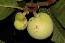 Unripe-Monkey-Fruit