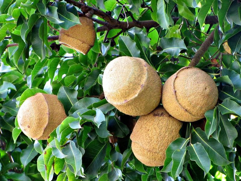 Monkey Pot Facts Health Benefits And Nutritional Value