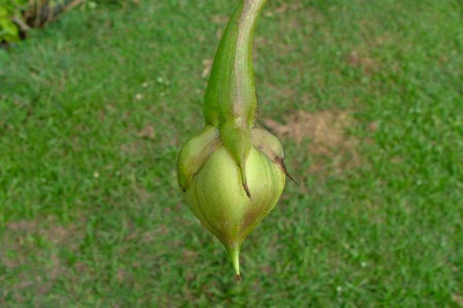 Immature-fruit-of-Moonflower