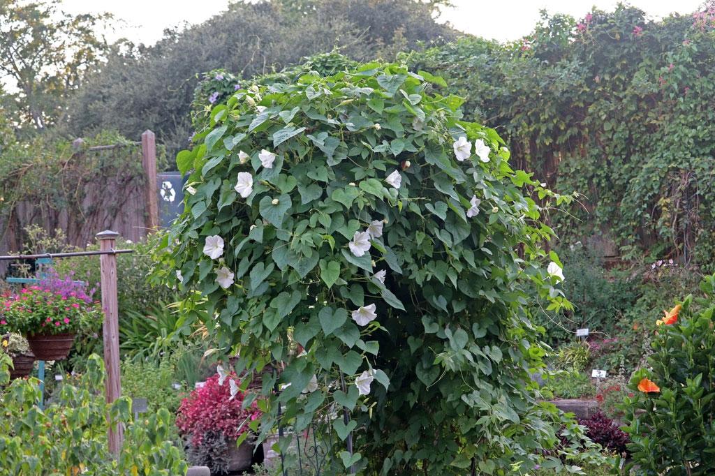 Moonflower-plant-growing-wild