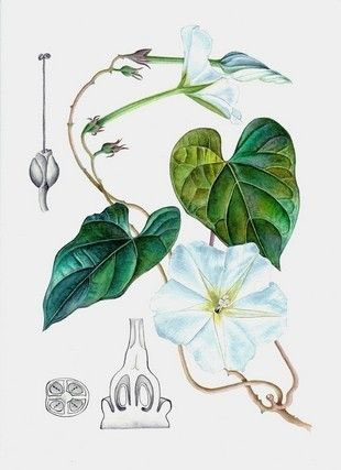 Plant-Illustration-of-Moonflower