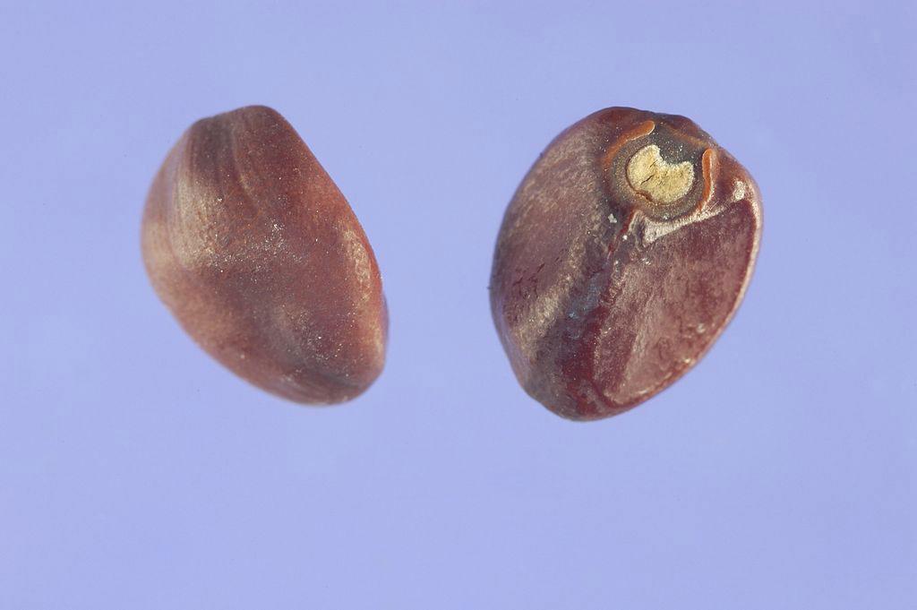 Seeds-of-Moonflower