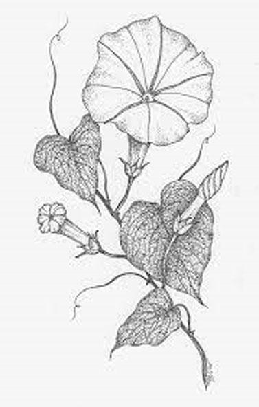 Sketch-of-Moonflower