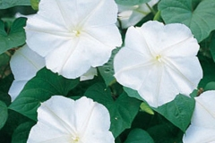 Flowers-of-Moonflower
