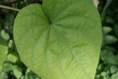 Leaf-of-Moonflower