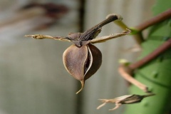 Mature-fruits-of-Moonflower