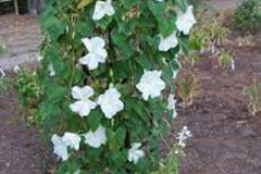 Moonflower-plant
