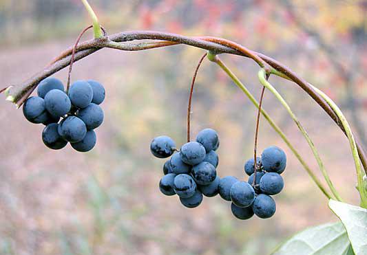 Moonseed-berries