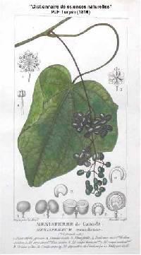 Plant-illustration-of-Moonseed