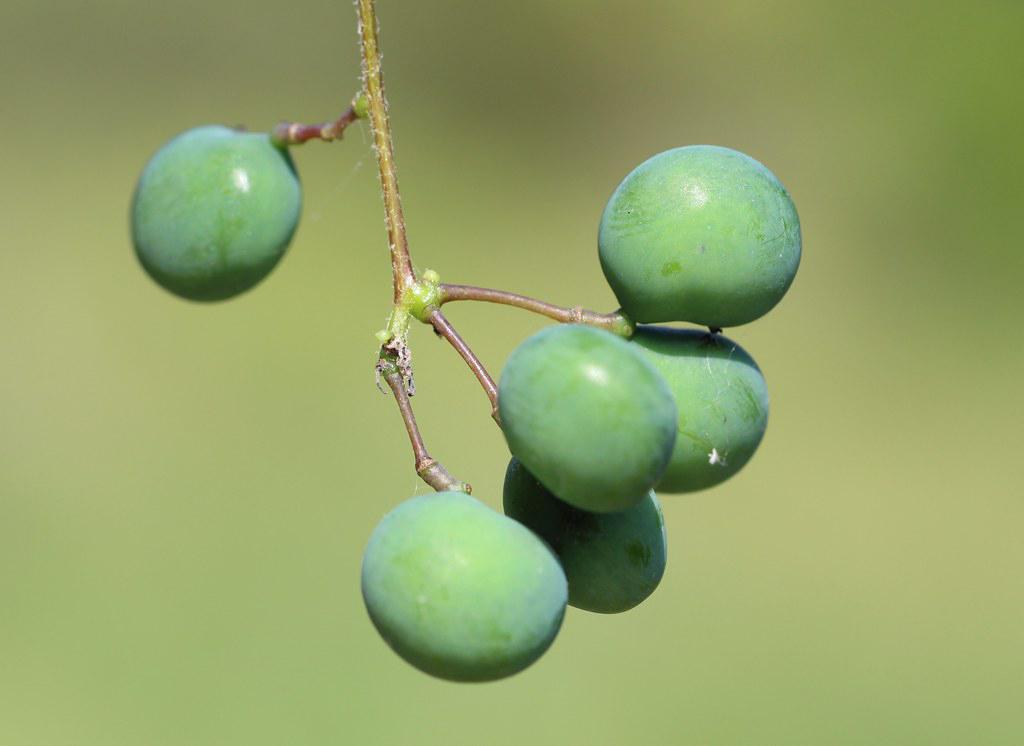 Unripe-Moonseed-berries