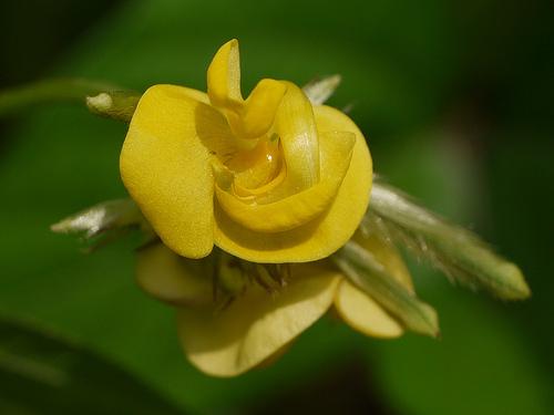Close-up-flower-of-Moth-bean